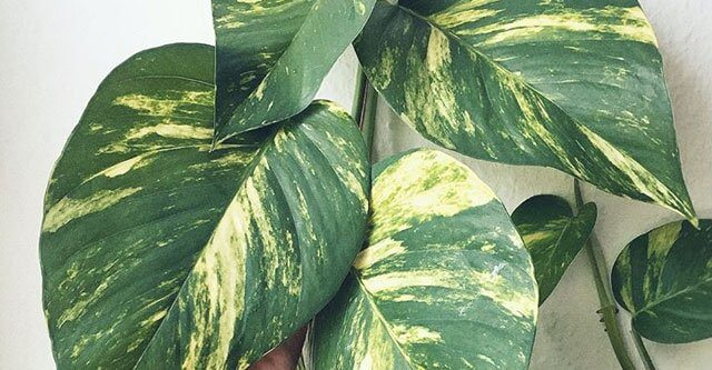 Are-all-pothos-toxic-to-cats