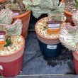 HOW-DO-I-CARE-FOR-MY-CORAL-CACTUS-–-ULTIMATE-GUIDE
