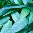 Is-Cebu-Blue-a-Pothos-Or-Philodendron