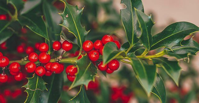 Is-Cutting-Holly-Illegal-In-UK
