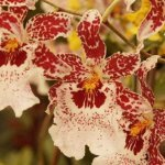 Why-Won't-My-Cambria-Orchids-Bloom-Top-10-Reasons